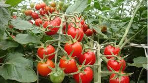 marlei-turismo-marleiturismo-nakahara-tomatinhos.jpg
